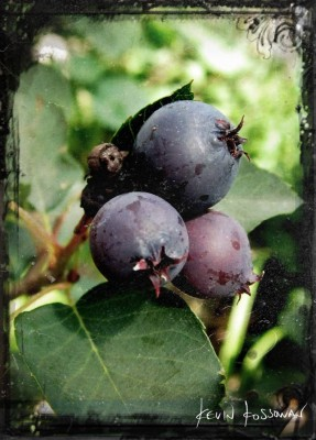 Saskatoons
