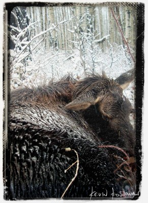 Calf Moose - 2008