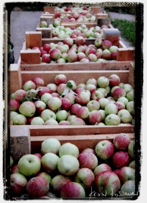 Apple-Harvest-1