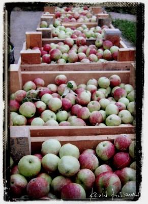 Apple-Harvest-1