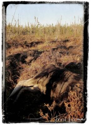Moose-hunt-1
