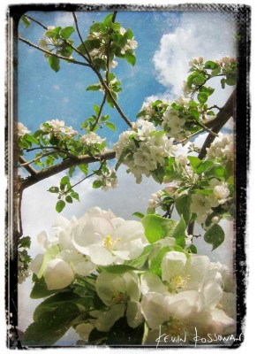 Apple-Blossom-1
