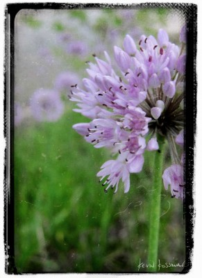 Allium Blossom