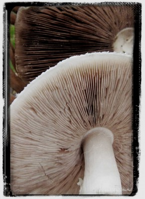Meadow Mushroom