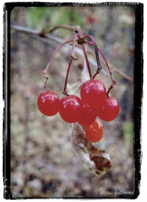 Highbush Cranberry 2011