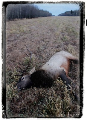 Elk 2