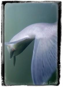 Sockeye Underwater
